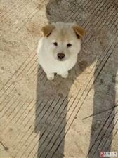 狗狗得了细小并不可怕,做为狗狗主人,你们不应该放弃它。尽量不要去宠物医院,钱花了不少还不一能好