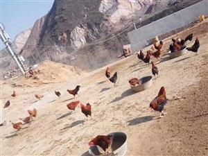 山坡散养柴鸡,鸡蛋,自家养的肥猪,有需要的联系