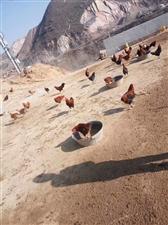 山坡散养柴鸡,鸡蛋,自家养的肥猪�穑�有需要的联系