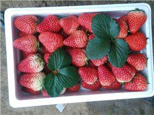 咱们义县人自己的草莓采摘园开业啦