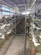 长期出售乳鸽