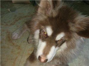 这样的阿拉斯加雪橇犬能值多少钱?