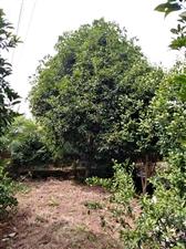 桂花树出售,树高5米,树冠宽5米,树粗直径20公分,一年开一次花,价格面议