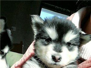 阿拉斯加狗狗幼崽,有人想买么?需要的加QQ1158856457详聊,