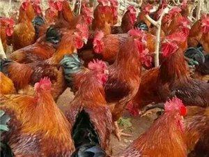 出售林下散养肉鸡