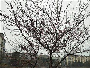一树红梅花盛开