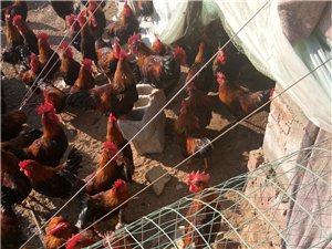 放養雞出售