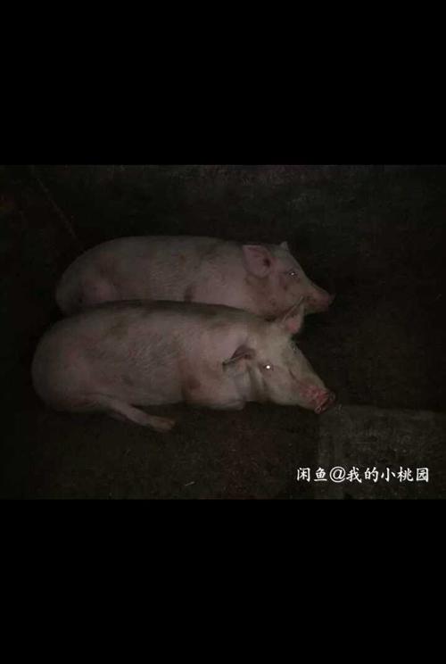 农村家养生猪有两百七八十斤每斤8.8