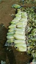 请伸出我们的援助之手,别让新区的菜农把白菜烂在地里!