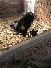 出售犊牛奶牛公