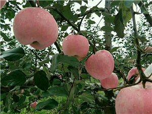 陕西优生产业带红富士苹果