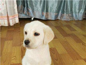�D�u狗狗拉布拉多