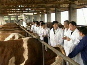 致富养殖首选肉牛