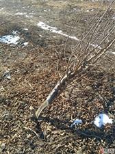 马庄村20亩果园一夜被砍光为哪般?(图)