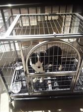 纯种边境牧羊犬,四月岁,预防针全打,因本人无法养了,现出给爱犬之人,价格好说,带铁围笼。