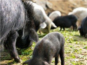 出售放养藏香猪