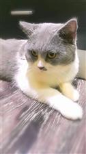 英短蓝猫,预苗已经全部打完,除螨除虫,猫咪温顺可爱又粘人,由于家里孩子高考、家长又经常不在家,寻喜欢...