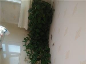 自己家养的绿萝,大概有3米左右长,剪了舍不得,寻找有缘人,喜欢的请下手,白城市里,自取。