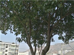 出售四十年的老桂花树