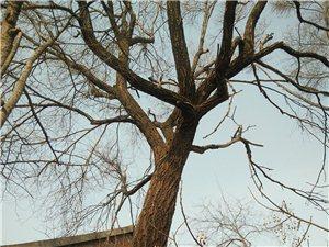 老榆树一枚