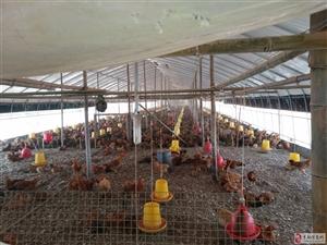 养鸡场转让