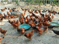 白沙九架阉鸡,快八个月,主食玉米、象草。肉嫩、鲜美。拜年走亲戚、走朋友首选。一级棒
