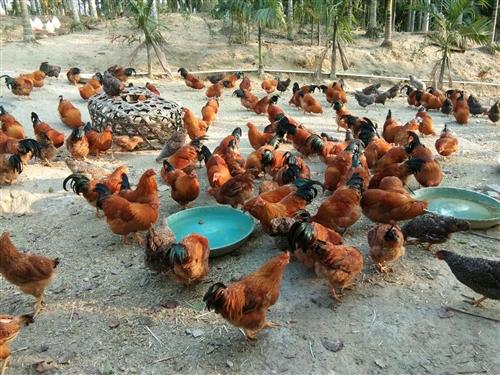 白沙九架閹雞,快八個月,主食玉米、象草。肉嫩、鮮美。拜年走親戚、走朋友首選。一級棒