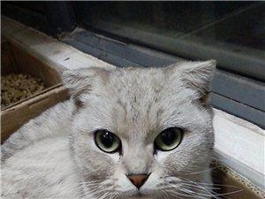 出售純種折耳貓