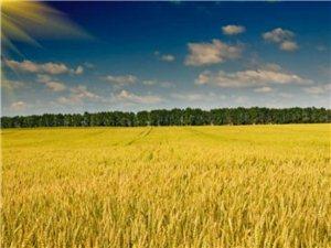大量出售小麦种子