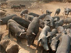 急售花豬香豬半野豬