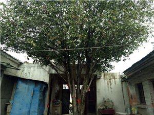 金桂,蓬径3米,高4米,生长周期三十年左右。另有一株1.5米枝枝花一同出售。价格面议。