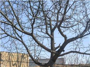 出售老核桃樹!