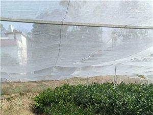 家里有自己接种的优质脐橙苗