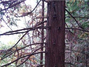 松木,杉木低价出售