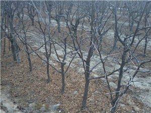 果树沾化冬枣树苗出售1-5公分
