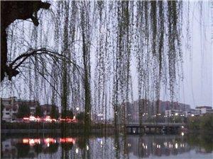 环湖杨柳坠青湖