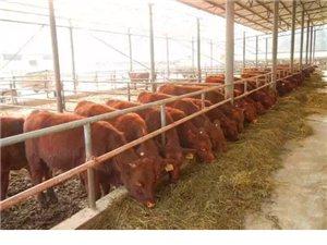 出售良种育肥小牛犊(西门塔尔、夏洛莱、利木赞)