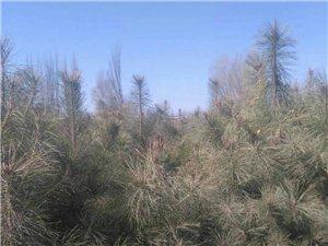 油松树苗大量出售
