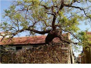 快来看,这棵六百多岁的大槐树