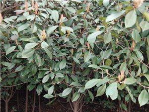 低价出售红叶石楠树