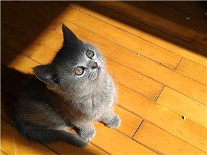 出售纯种小蓝猫幼崽