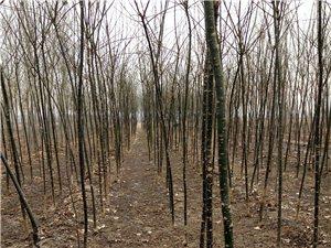 3-5公分国槐栾树白蜡复叶槭