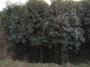 有二亩大叶女贞树出售