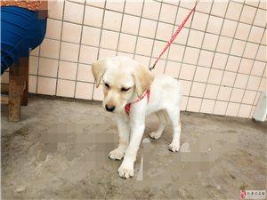 出售拉布拉多幼犬
