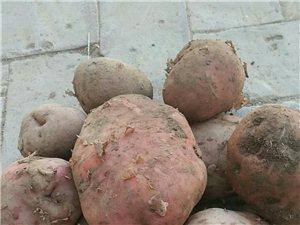 民樂本地紅皮土豆