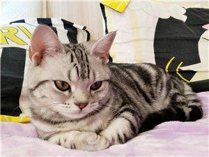 美短银虎斑母猫
