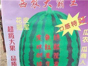 大量出售西瓜苗