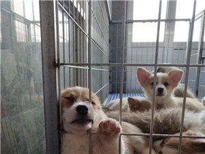 双血统柯基幼犬找有缘新家