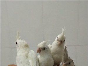 吉祥犬業手養鸚鵡玉鳥
