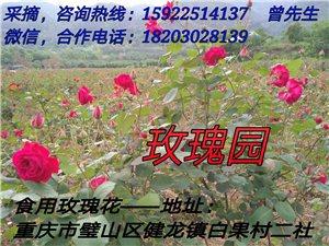 鲜食玫瑰花采摘
